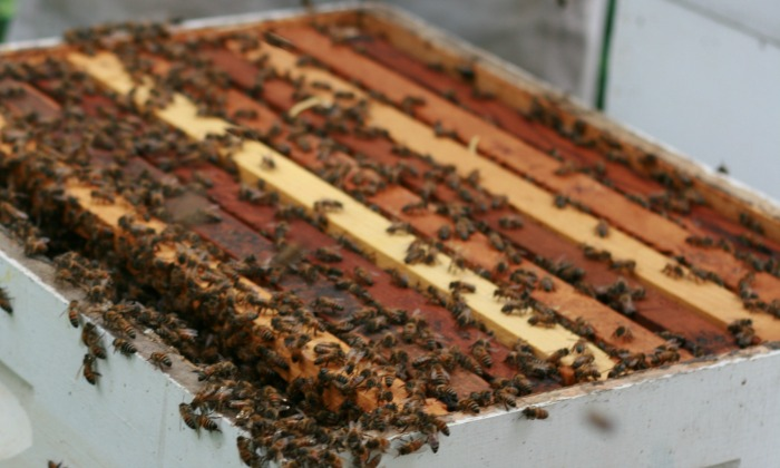 5 Honey Bees to Consider, Including Buckfast Bees