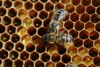What Causes Colony Collapse Disorder in Honey Bees?