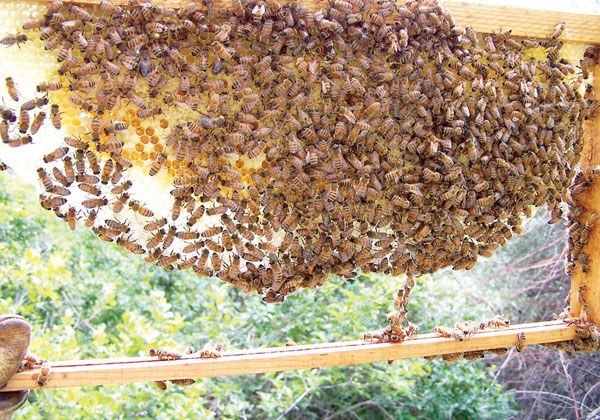 Natural Bees Comb Building: Boon or Bust?