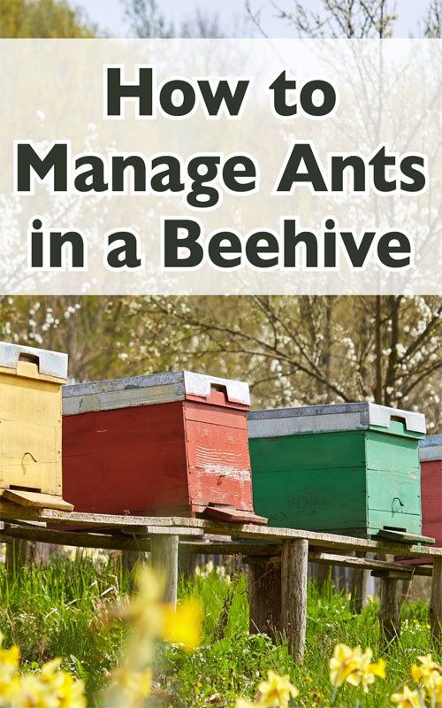 Manage Ants in Beehive