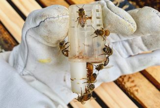Installing a New Queen Bee to Change Genetics
