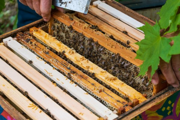 urban-beekeeping-laws