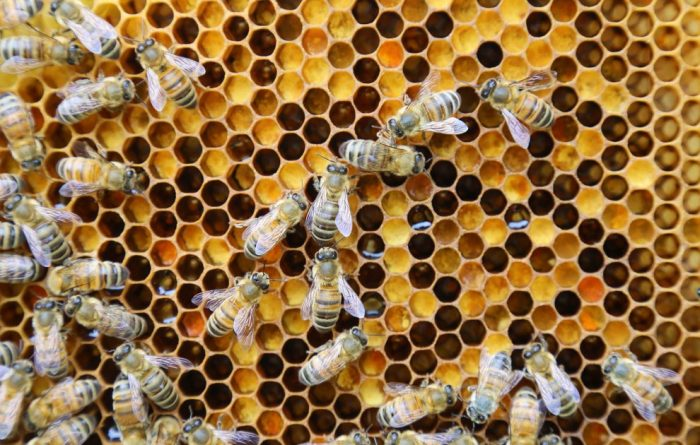 Nosema Disease in Honey Bees