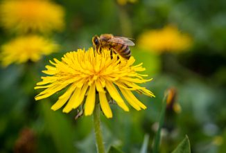 Will Spraying Dandelions Harm Bees?