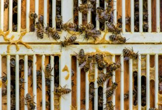 Brood in Honey; No Queen Excluder — What Now?