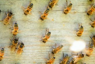 Why Do Bees Washboard?